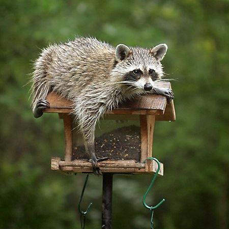 raccoon laying on top of a bird feeder